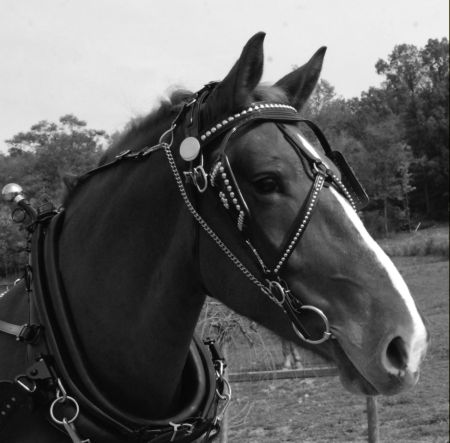 Pulling Style Bridle